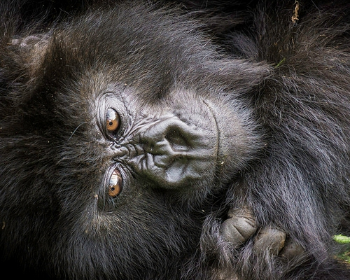 Gorilla Tracking in Uganda, 5 Days