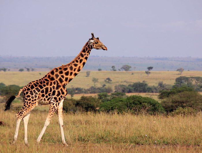 Uganda Safari & Tours