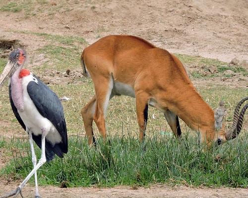 marabou stork uganda