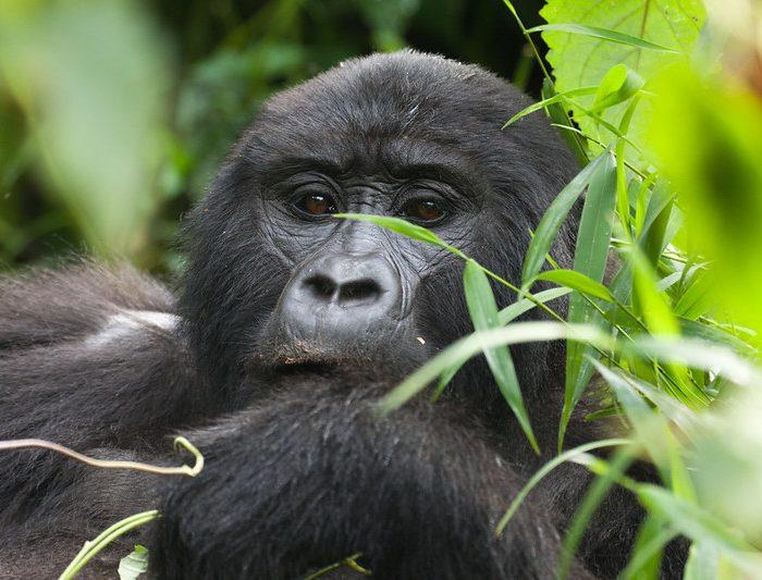 Gorilla Tracking in Uganda, 5 Days