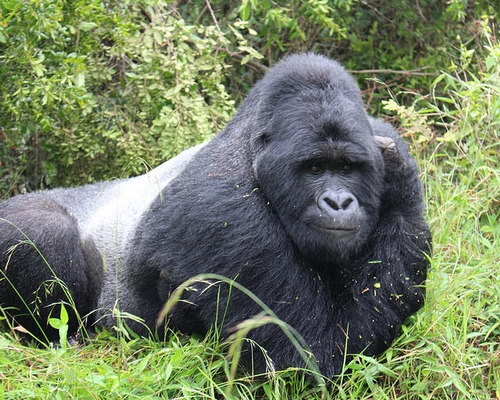 5 Days Uganda Safari, Gorillas & Chimpanzee