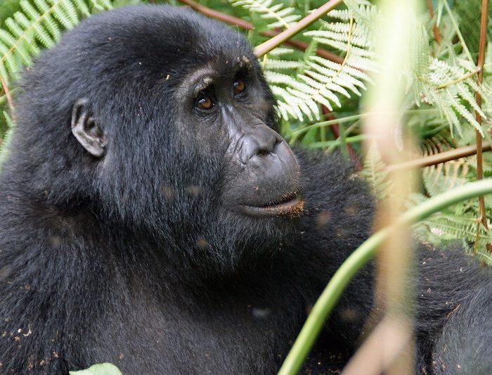 5 Days Uganda Safari, Gorillas & Chimpanzee