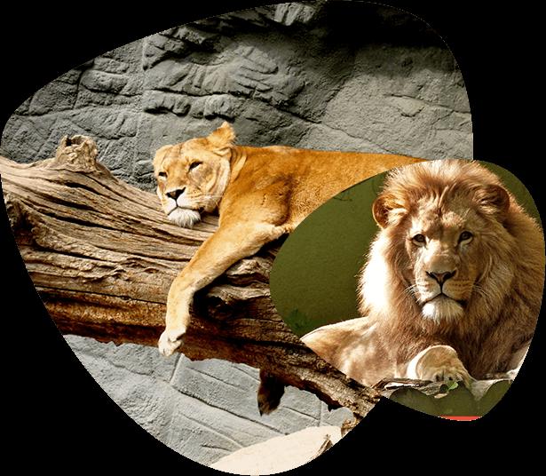 treel climbing lions