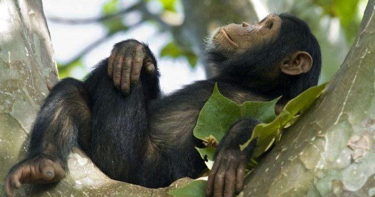chimpanzee kyambura